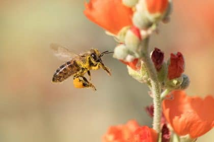 California Honeybees Are In Decline. Administration Says It Can't Afford to Study It