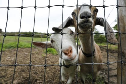 How 2 Goats Are Helping to Protect Indiana Dunes National Park