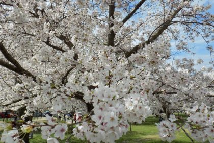 Cherry Blossom Peak Bloom Date Announced