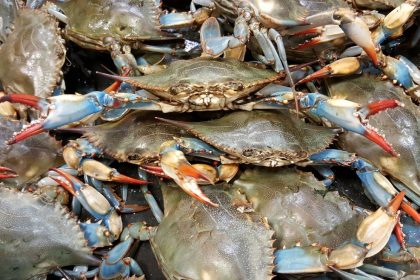 Environmentalists Say Chesapeake's Blue Crab Population Healthy Despite Significant Drop