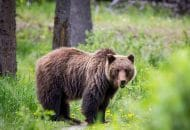 Interior Department to End Grizzly Bear Restoration in the North Cascades