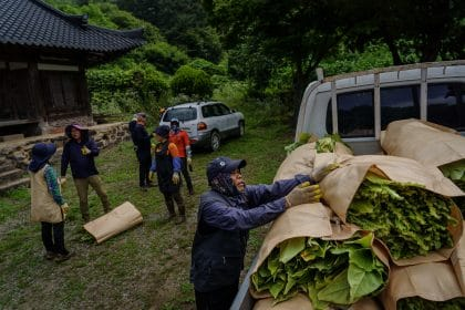 A Farmer, 'Little Ghosts' and 18,000 Tobacco Plants: How COVID-19 Upended Farming in South Korea