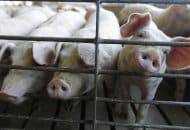 New Rules Could Take California's Pork Supply Offline