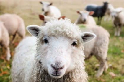 Livestock Researchers Awarded $14M from USDA