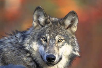 FWS to Consider Possible Listing of Western Gray Wolf